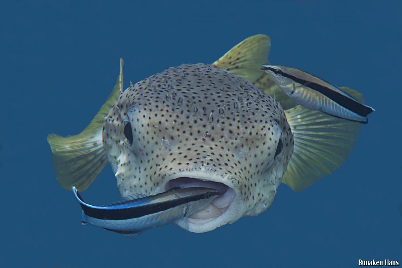 Blue porcupine puffer fish for Porcupine puffer fish